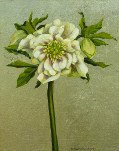 Helleborus (with silver leaf)